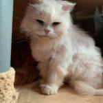 桃園市議員謝美英貓咪救援送養11