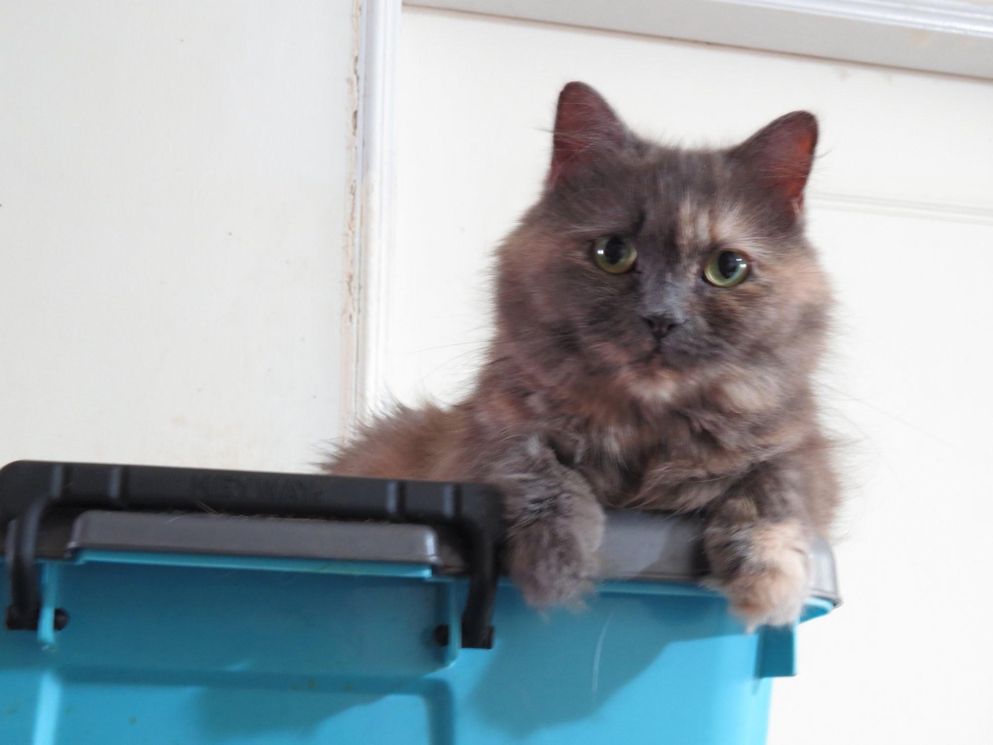 桃園市議員謝美英貓咪救援送養14